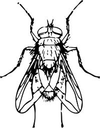 dibujar una mosca