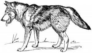 lobos para dibujar