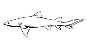 tiburon blanco dibujo