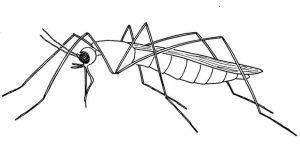 foto mosquito