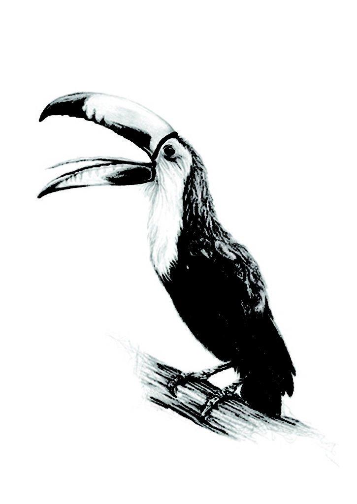 aves tucanes fotos