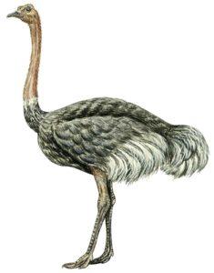 avestruz en dibujo