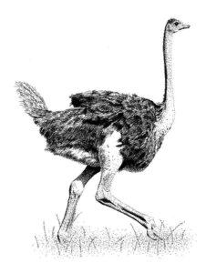 avestruz para colorear