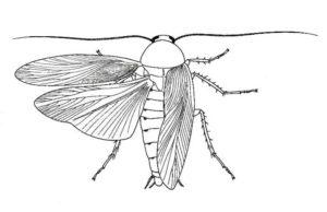 clases de cucarachas fotos