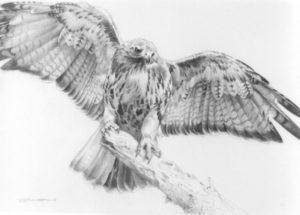 como dibujar halcones