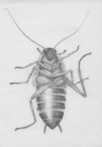cucaracha para dibujar