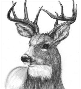 fotos de ciervos para dibujar