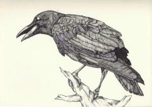 fotos de cuervos