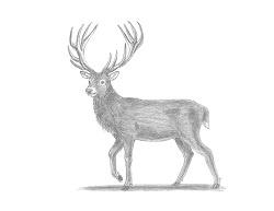 fotos de un ciervo