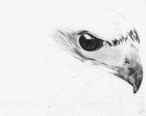 imagenes de halcones volando