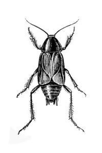 imagenes de la cucaracha
