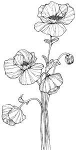 amapola planta