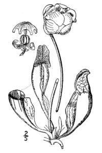 como dibujar a la planta carnivora de plants vs zombies