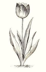 cuadros de tulipanes