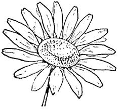 fotos de flores margaritas