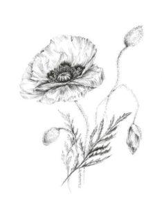 planta de amapola
