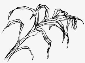 planta de maiz dibujo